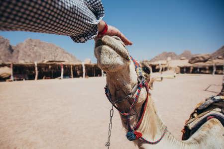 sharm: Camel in Sharm El Sheikh