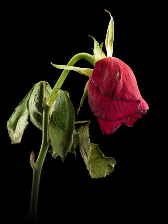 faded: Faded scarlet rose on a black background