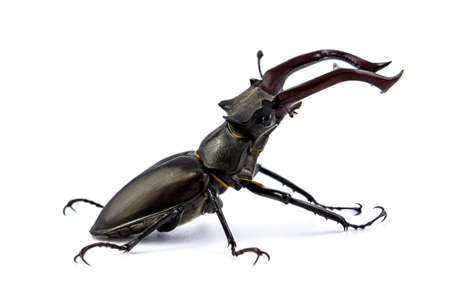 Stag beetle isolated on white background (Lucanus Cervus)