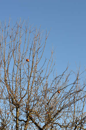 unpicked: Unpicked overripe apples on tree in winter time