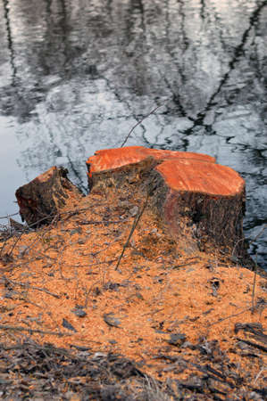 scobs: Cutted tree stub near to the river bank Stock Photo