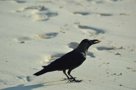corvus: Carrion Crow standing on the beach with a piece of food in his beak