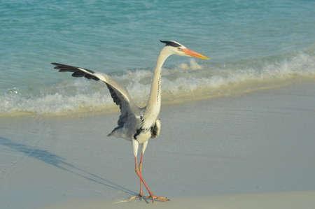 gray herons: Big Grey Heron standing on the beach