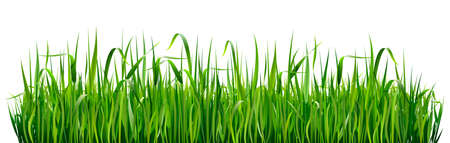 Green grass borders, high green fresh grass isolated on white background.