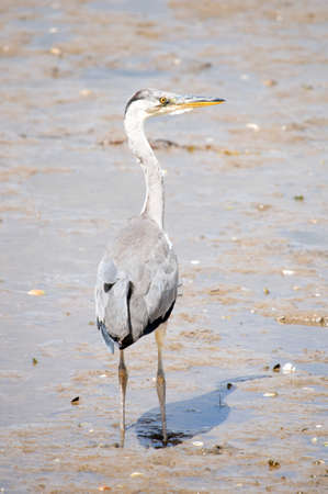 gray herons: BIENNERVILLE, IRELAND - JULY 20, 2008: Grey heron (ardea cinerea) photographed standing in the mud at low tide.