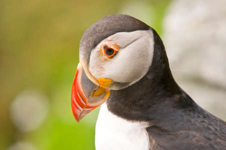 fratercula: SKELLIG ISLAND, IRELAND - JULY 25, 2008: Atlantic puffin head, fratercula arctica, photographed  in the cliff of the Skellig Island near to the coast of Ireland.