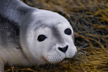 pinniped: Adorable face of a baby seal up close and personal!