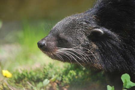 bearcat: Adorable profile of an Asian Bearcat.