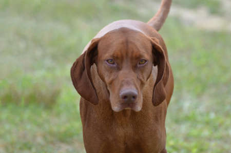 hungarian pointer: Amazing face of a vizsla dog with a sweet expression.