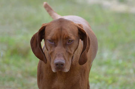 hungarian pointer: Candid shot of a sweet vizsla dog. Stock Photo