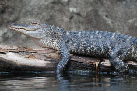 swampy: Nile crocodile on a log above the swampy water.