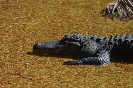 Alligator in a very shallow pond soaking up the sunshine.