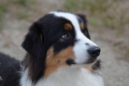 Gorgeous profile of an Australian Shepherd dogs face.