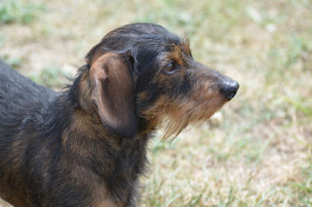 weenie: Amazing profile of a cute wire haired dachshund dog.