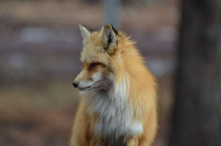 red fox: Beautiful red fox looking down. Stock Photo