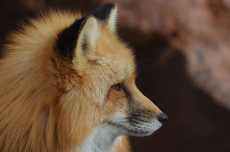 pointy: Beautiful profile of a red fox with a pointy nose.
