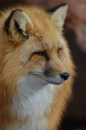 red fox: Amazing face of a wild red fox.