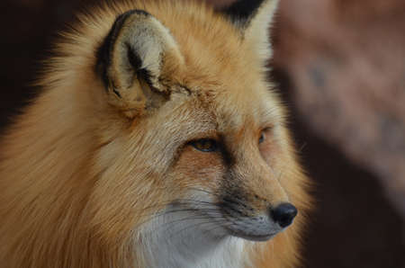 long nose: Beautiful long nose of a red fox.