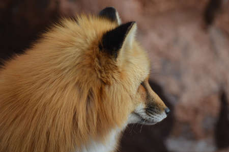 fox face: Profile of a gorgeous red fox face.