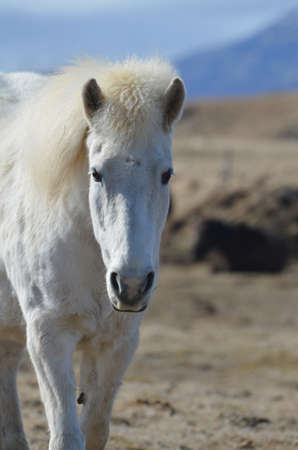 Solitary white Icelandic horse wandering in a field.