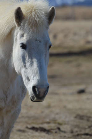 wind blown: Gorgeous face of a white Icelandic horse standing in a field in Iceland. Stock Photo