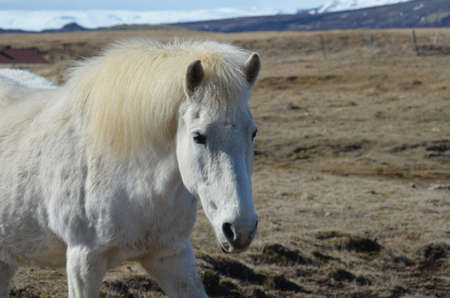 forelock: White Icelandic horse in a field iwth snowy mountains in the background.