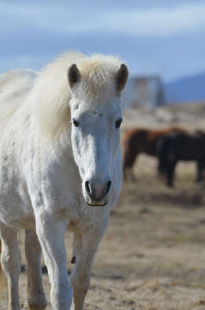 wind blown: White Icelandic horse wandering away from a herd of horses.