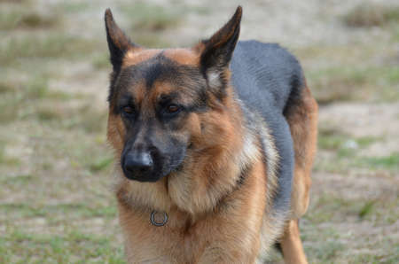 Fantastic markings on a German shepherd dog. Stock fotó