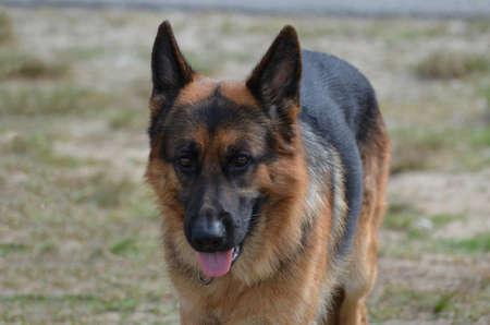 shepherd dog: Beautiful German shepherd dog in a yard. Stock Photo