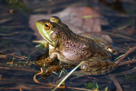Toad sitting in shallow water.