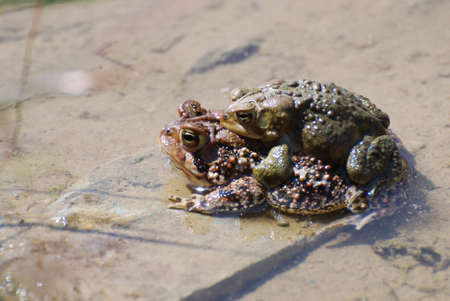 shallow water: Pair of procreating frogs in shallow water. Stock Photo