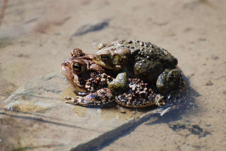 shallow water: Pair of coupling frogs mating in shallow water.
