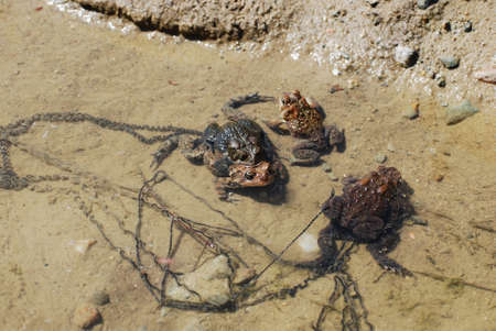 Pair of mating frogs laying eggs in shallow water. Stok Fotoğraf