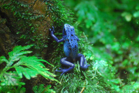 Blue poison arrow frog in the Costa Rica rainforest.