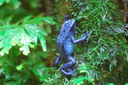 poison dart frogs: Blue poison dart frog climbing up a tree.