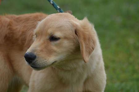 retreiver: Adorable face of a golden retriever puppy dog.