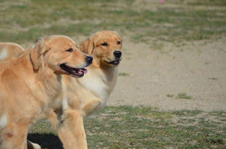 retreiver: Twin golden retriever dogs walking together.