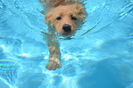 An adorable golden retriever pup swimming in a pool. Stock Photo