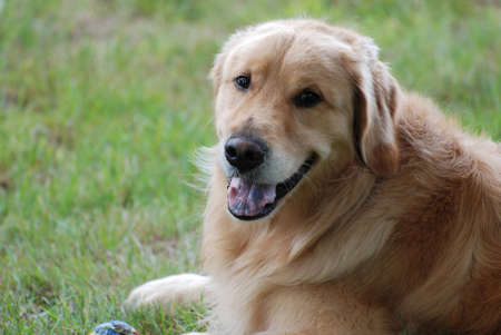 retreiver: Gorgeous golden retriever dog looking very proud of himself.
