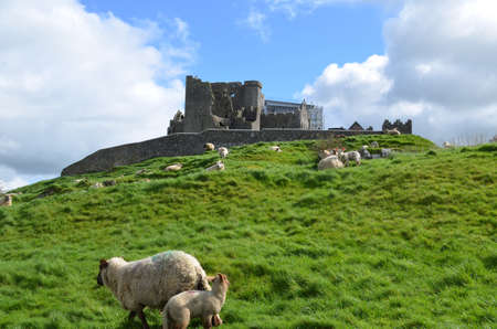 irish countryside: Roaming sheep at the Rock of Cashel in Ireland.