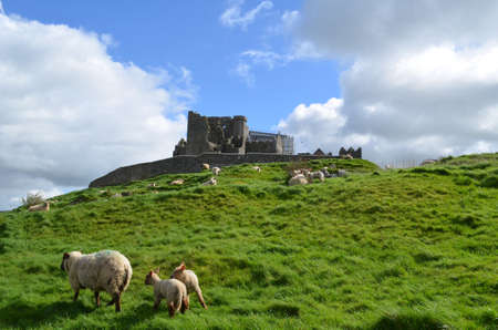 irish countryside: Flock of sheep grazing in front of the Rock of Cashel in Ireland. Stock Photo