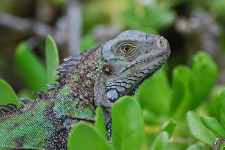 reptilian: Green iguana sitting in on the top of green shrubbery. Stock Photo
