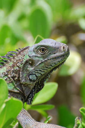 aruba: Green iguana creeping in a shrub.