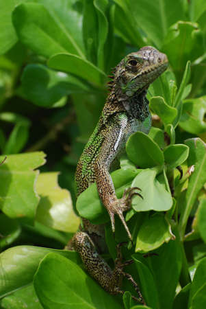 reptilian: Green iguana sitting in a bunch of green shrubbery. Stock Photo