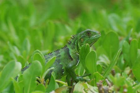 Amazingly green iguana creeping across the tops of shrubs. Stock Photo