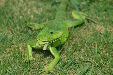 reptilian: Green iguana stretched out in lush green grass.