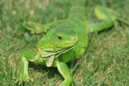 Green iguana stretched out in the warm sunshine on grass. Stock Photo