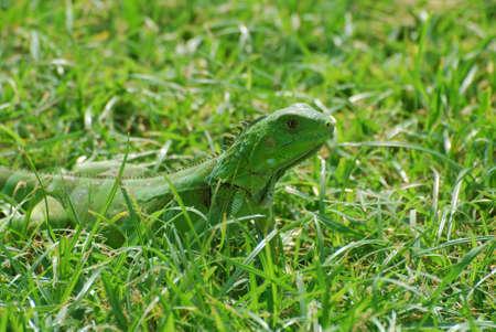 Iguana walking through the thick green grass. Stock Photo