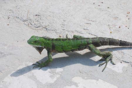 A green iguana walking across the pathway of a beach in Aruba. Stock Photo