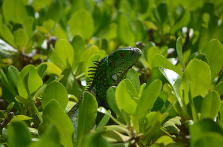 Common iguana perched in the top of a green shrub.